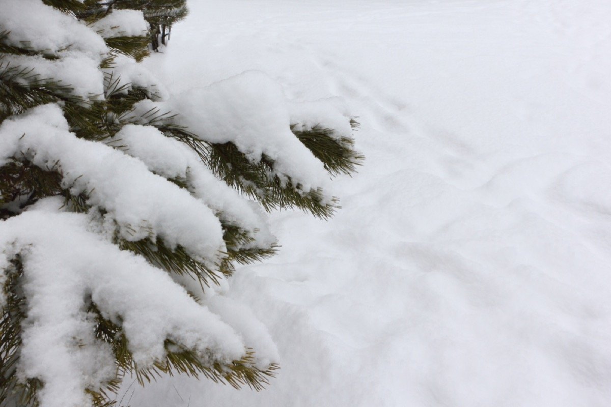 snow on pine tree National Geographic bee questions