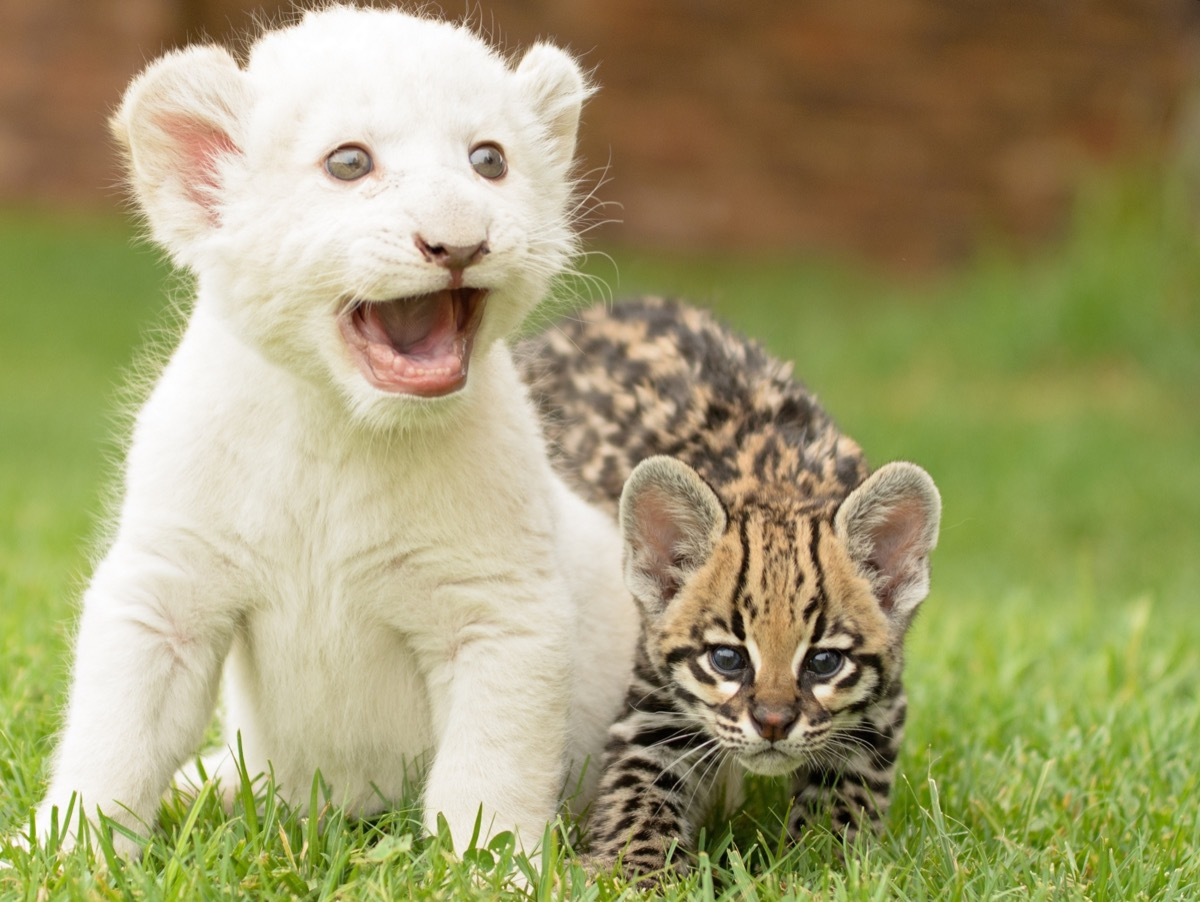 White lion cub and kitten
