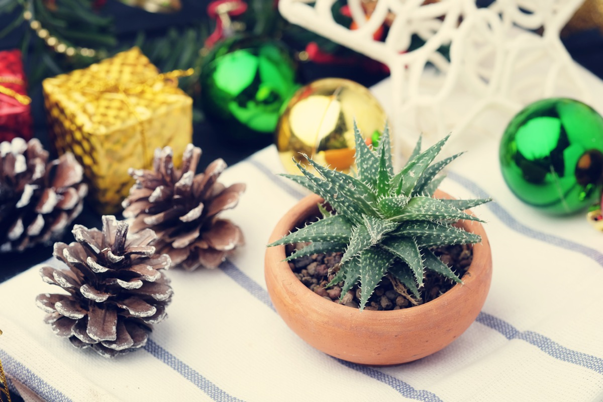 succulent surrounded by winter christmas decorations