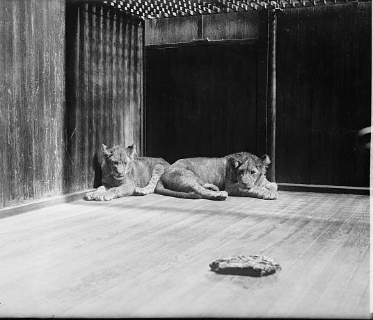 Calvin Coolidge's lions historical facts