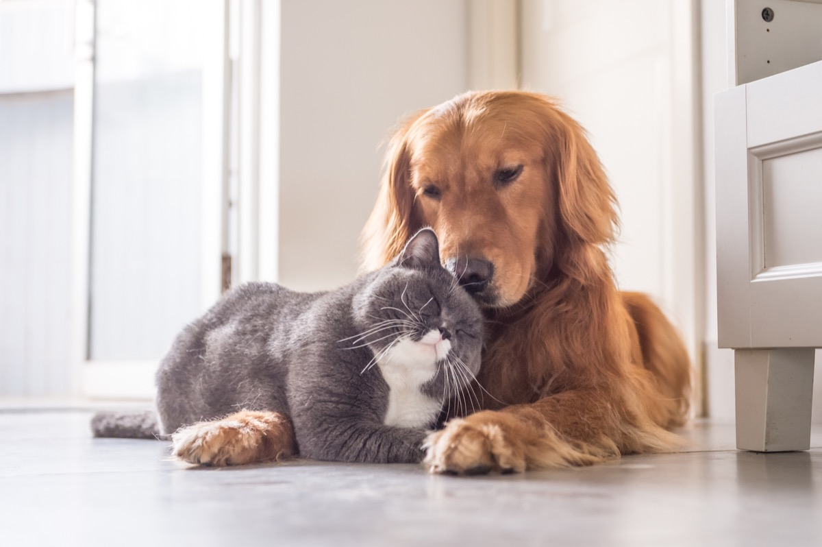 cat and golden retriever pets in love