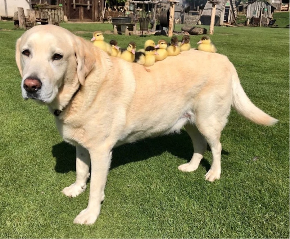 Sweet Doggo is a Duck Mom {Animal Stories