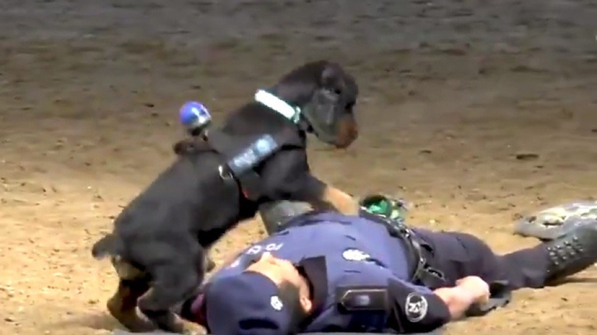 Dog who performed CPR on man Animal Stories 2018
