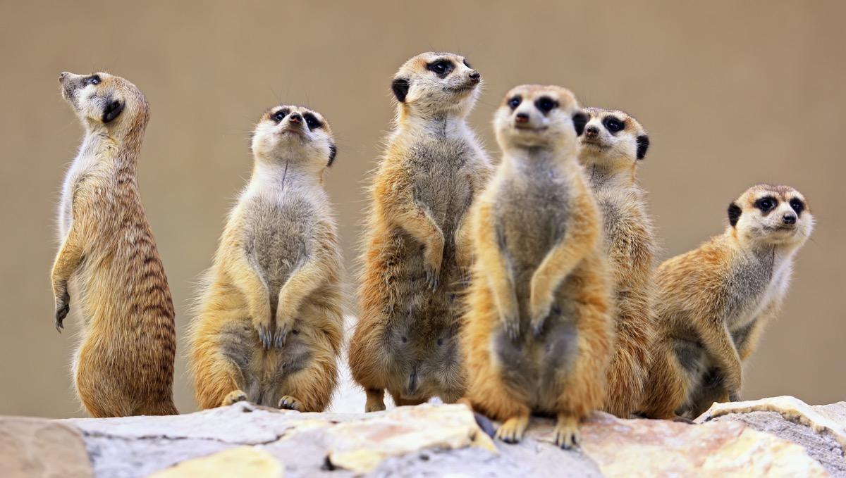 Group of meerkats Animal Stories 2018