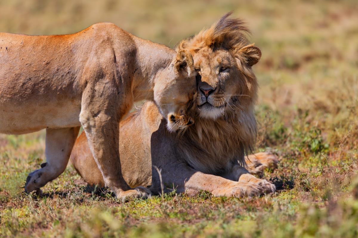 Lions cuddling Animal Stories 2018
