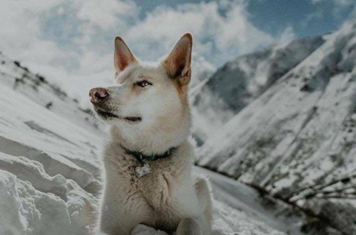 Nanook the Alaskan Husky Animal Stories 2018