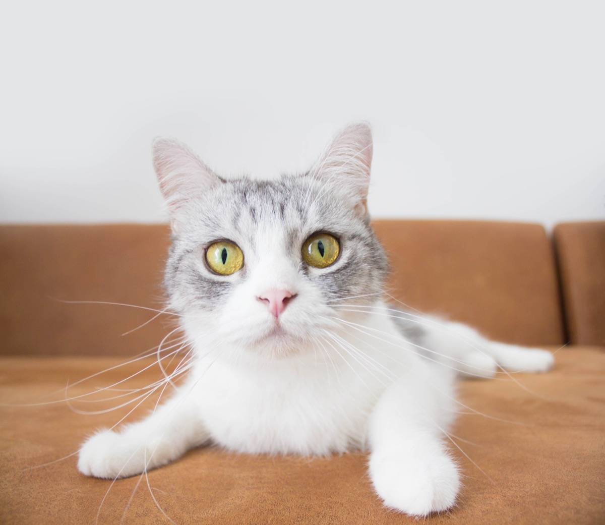 White and grey cat on couch