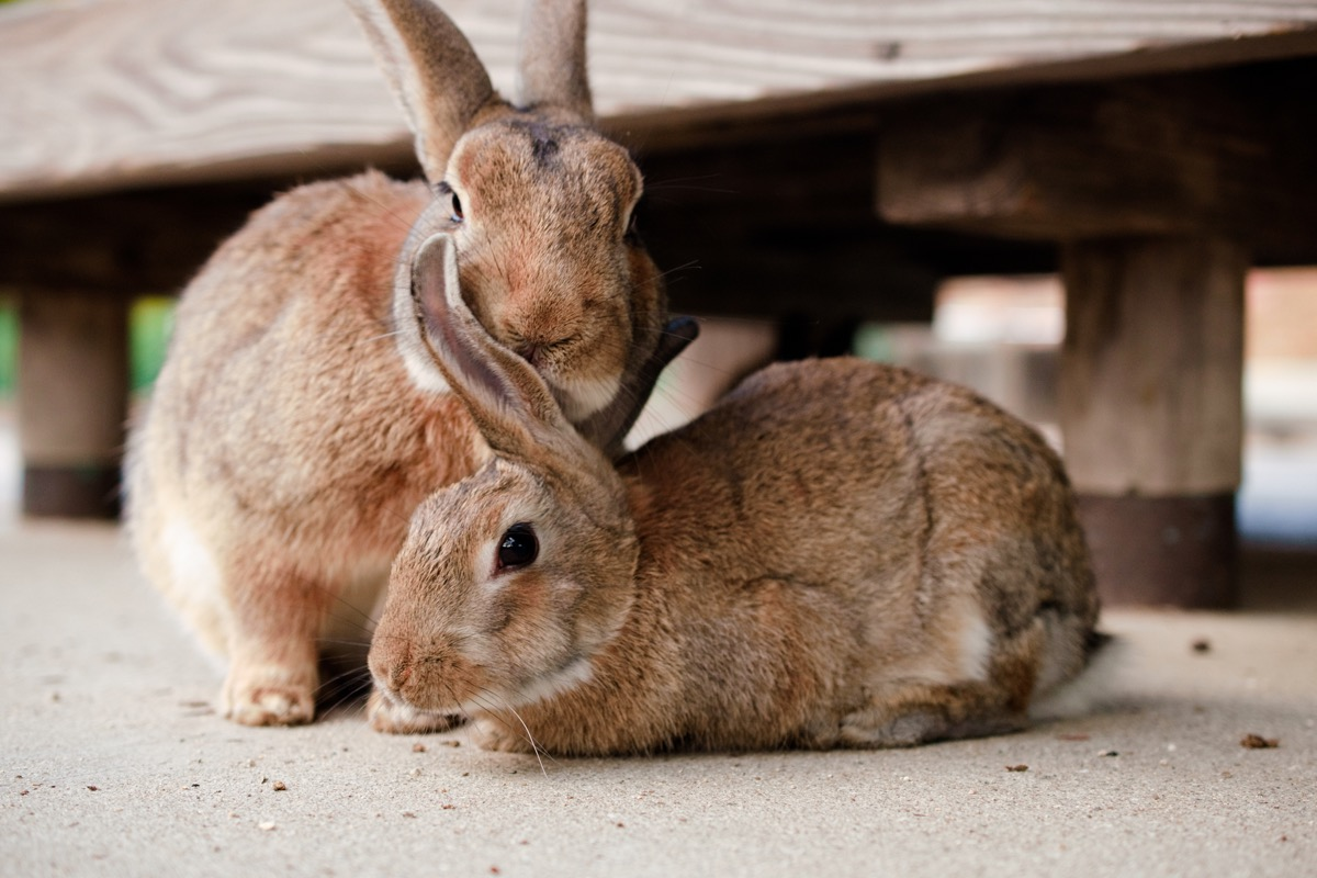 rabbits chilling together cuddled next to each other