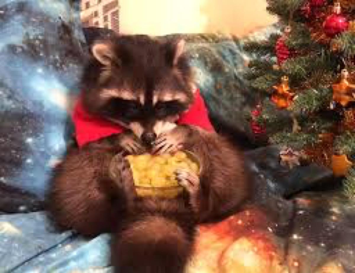Raccoon dressed as Santa Animal Stories 2018