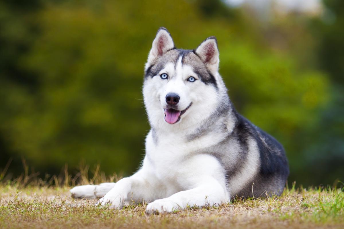 Siberian Husky Dog Animal Stories 2018 - dog puns
