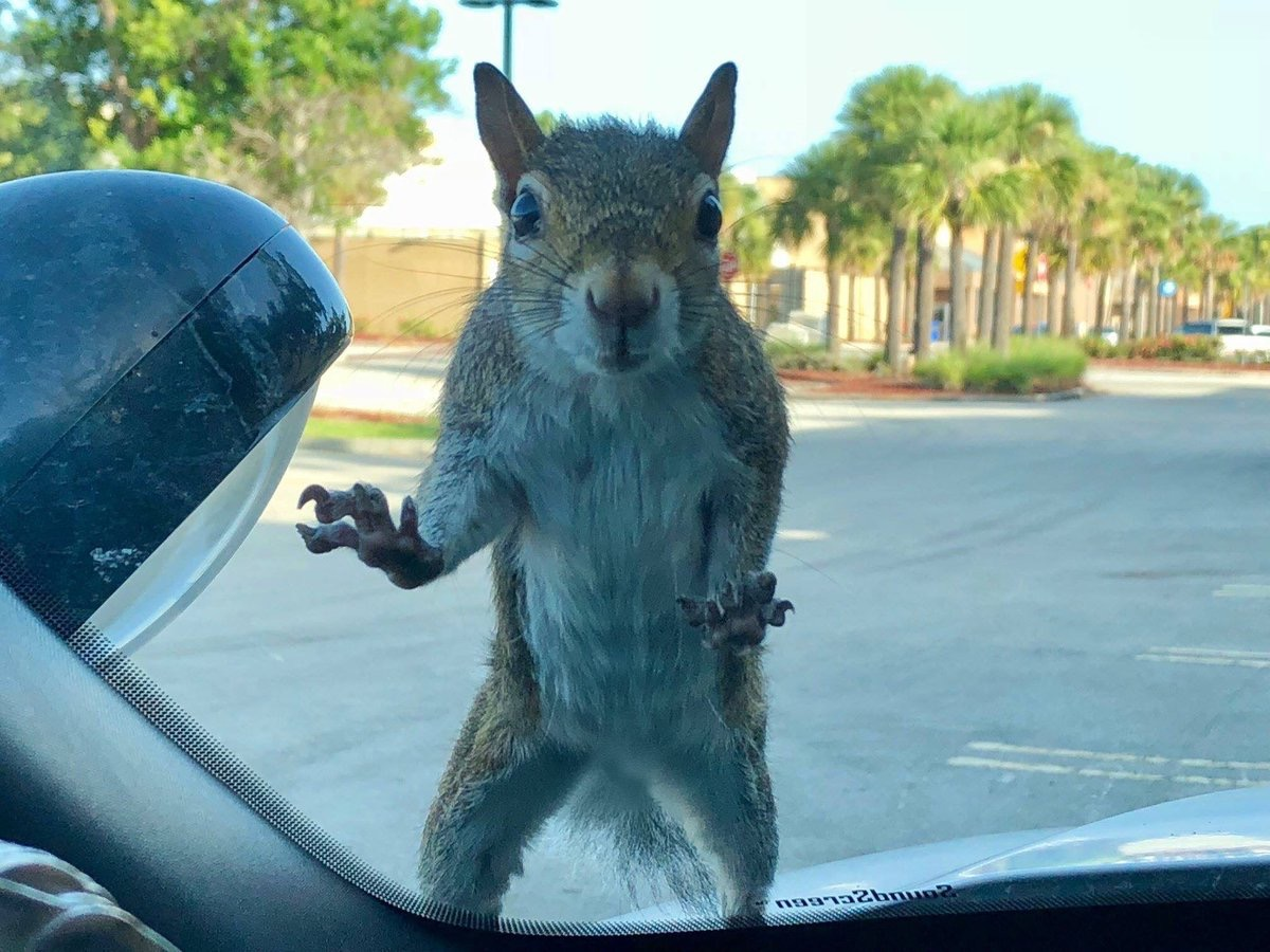 Squirrel who tried to break into police car Animal Stories 2018