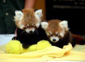 Twin red panda cubs Animal Stories 2018