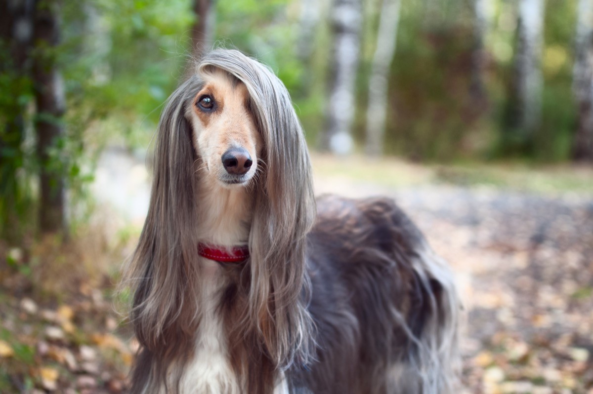 Smart dog Afghan hound with ideal data stands in the autumn forest and looks into the camera. A long bang closes her one eye.