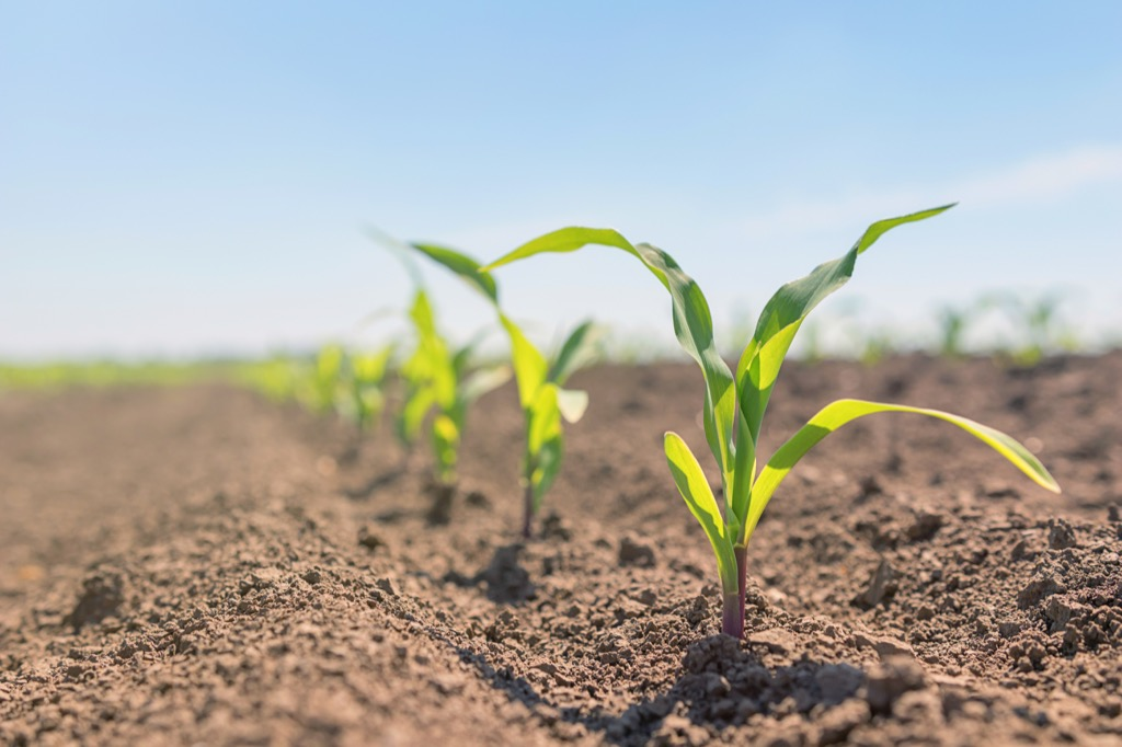 Baby Corn Plants {How Do Plants Protect Themselves}