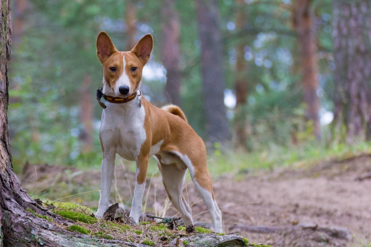 Basenji dog in the woods