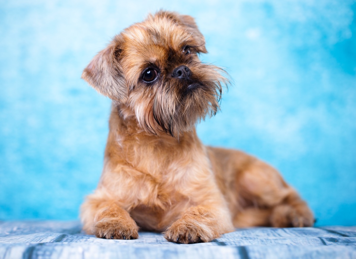 Brussels Griffon laying on striped blanket against blue background