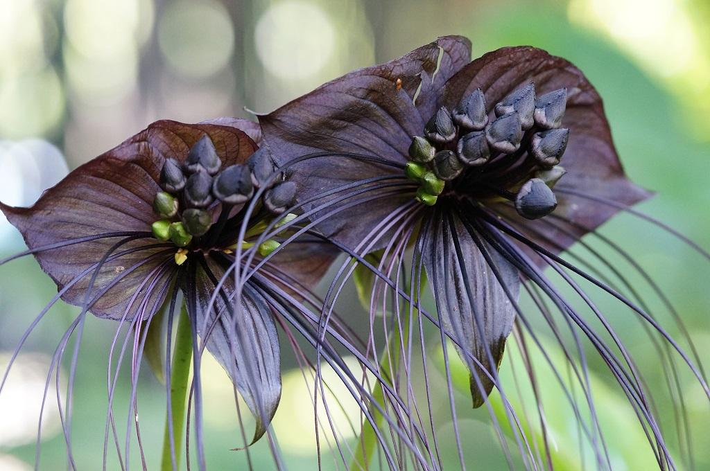 Black Bat Flowers terrifying plants