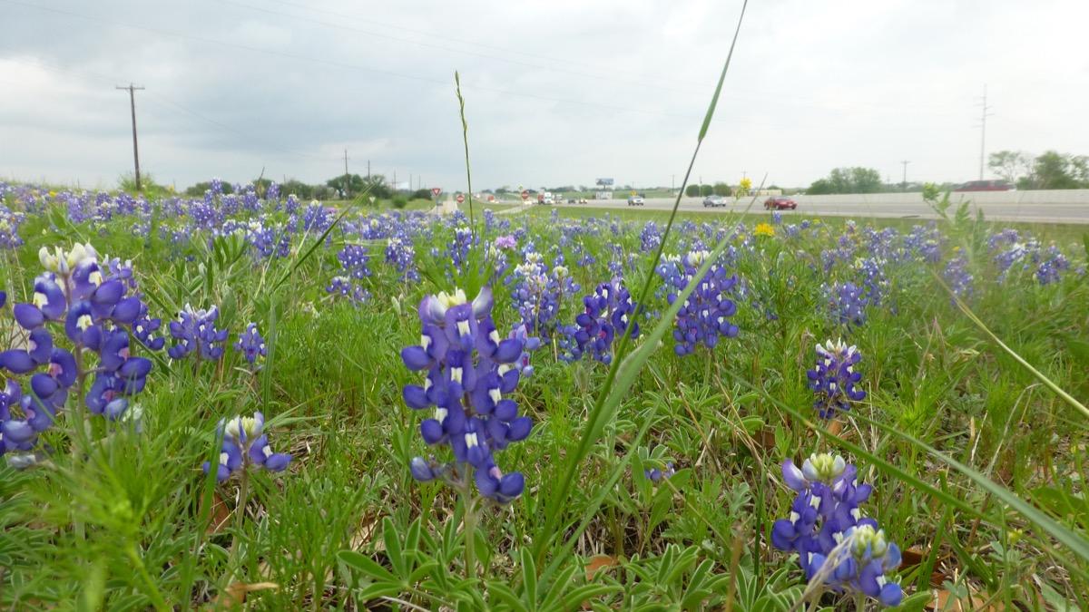 View of bluebonnet flower field along the Interstate near Dallas, Texas.