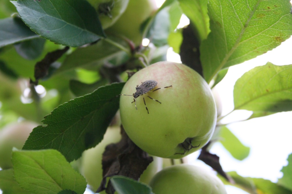 Bug on an Apple {How Do Plants Protect Themselves}