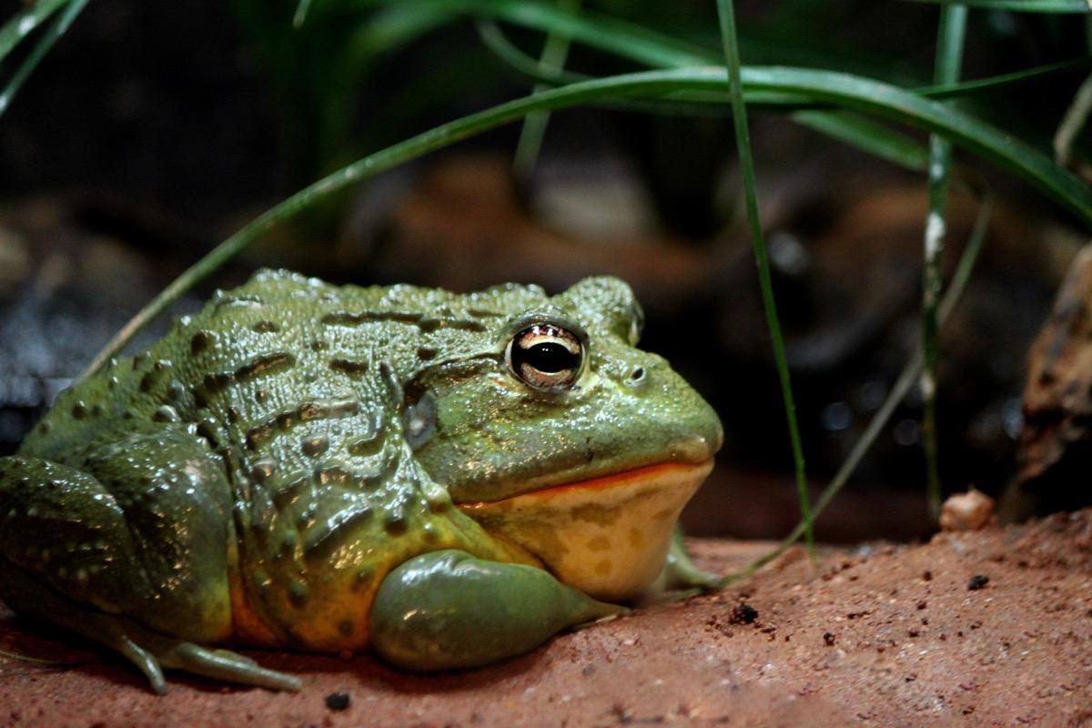 Bullfrog in swamp