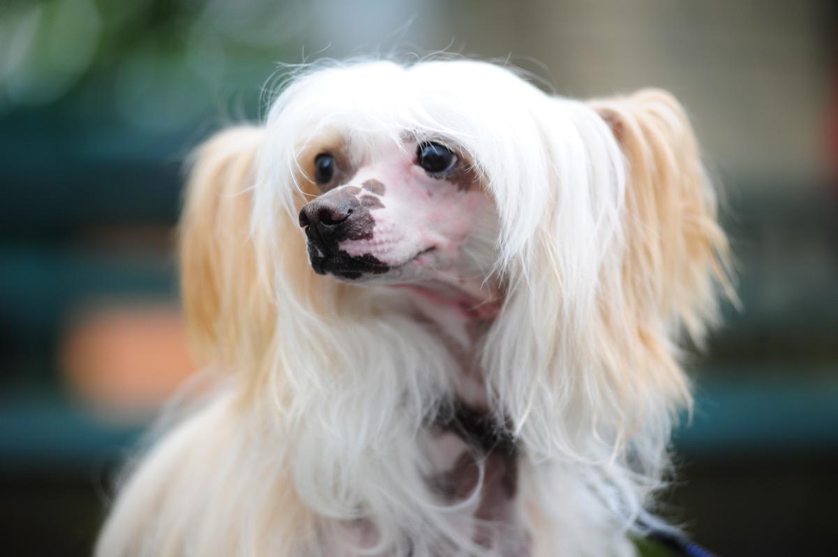 Anjing Jambul Cina - Gambar