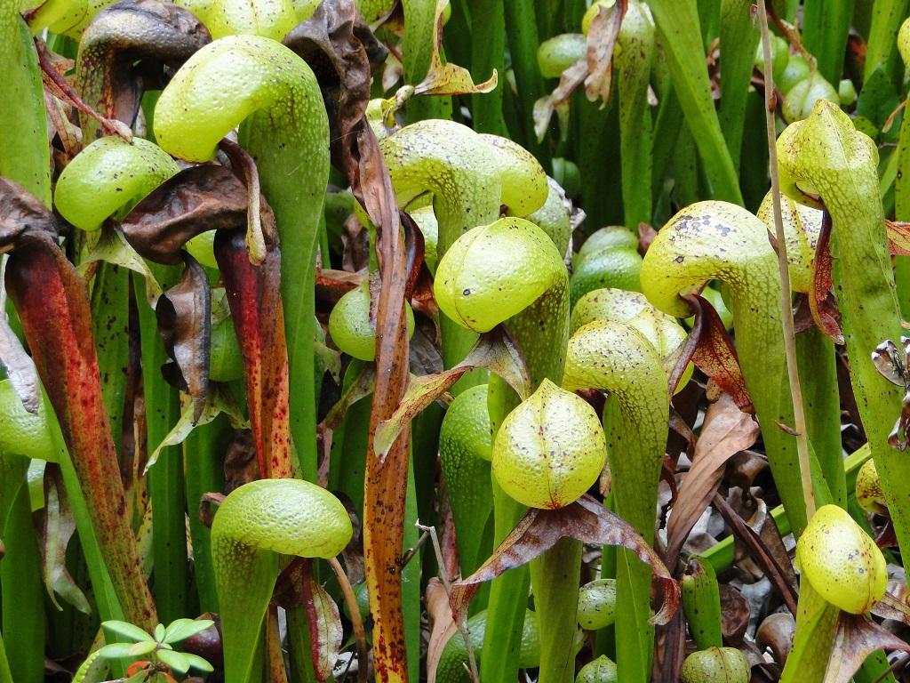 Cobra Plant terrifying plants