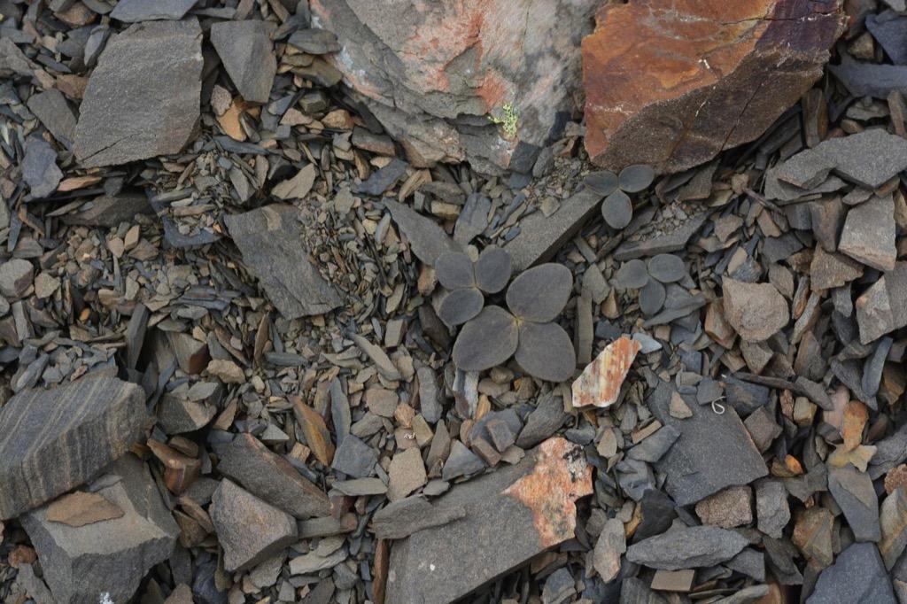 Corydalis hemidicentra {How Do Plants Protect Themselves}