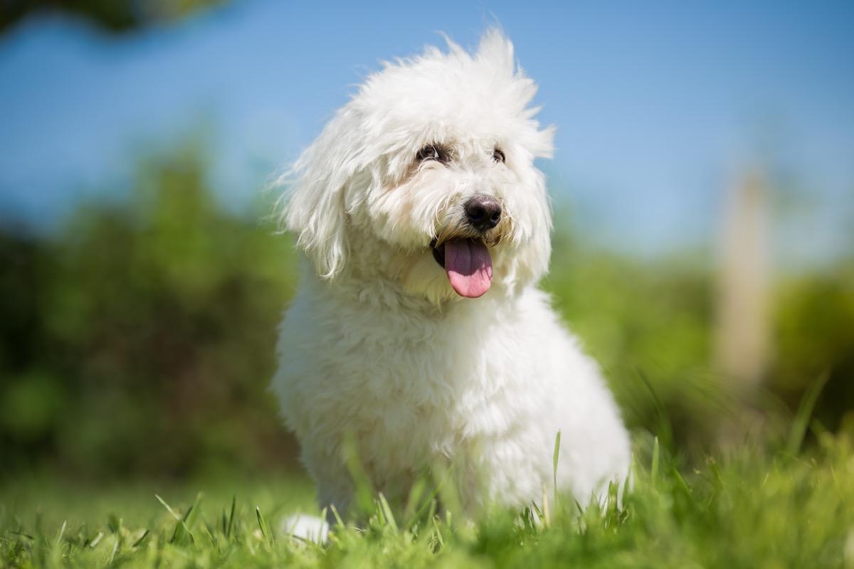 Small white long haired dog portrait - Coton de Tulear - Image