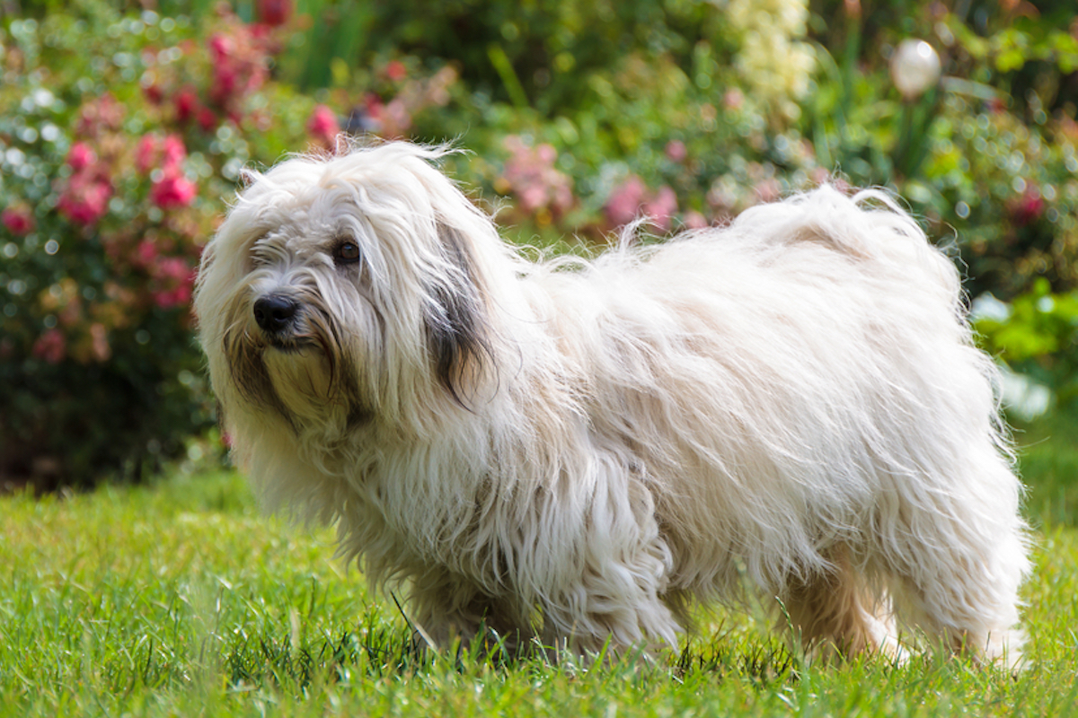 coton du tulear dog, small white with long hair, stands in grass with flowers in the background
