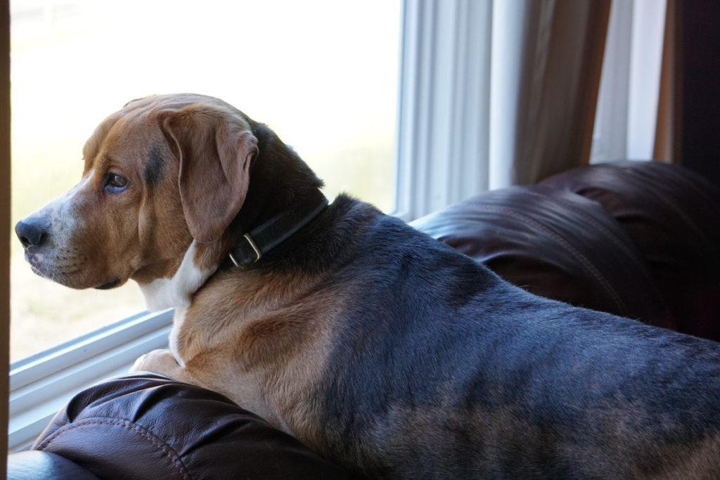 Dog Looking Out the Window {Secrets Your Mailman Knows}