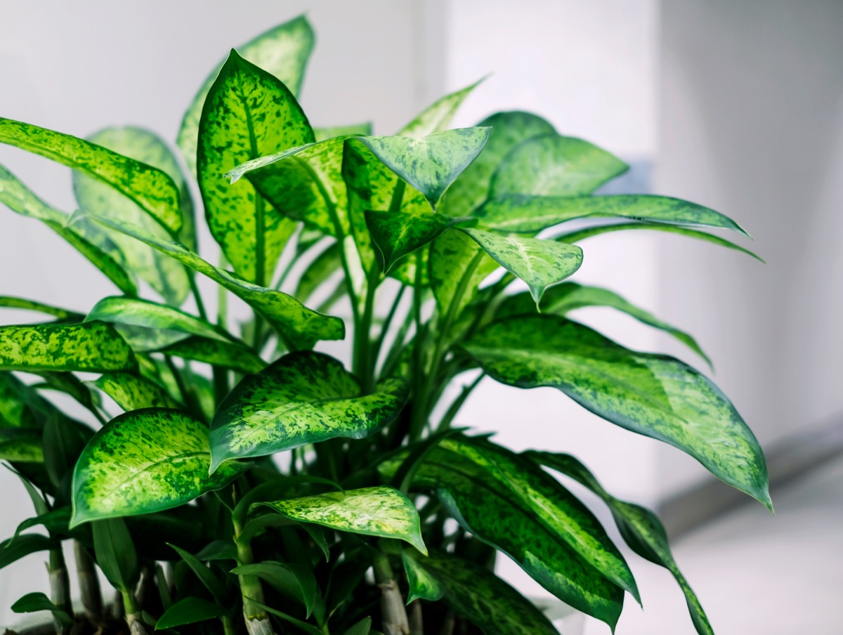 Dumb Cane Plant {How Do Plants Protect Themselves}