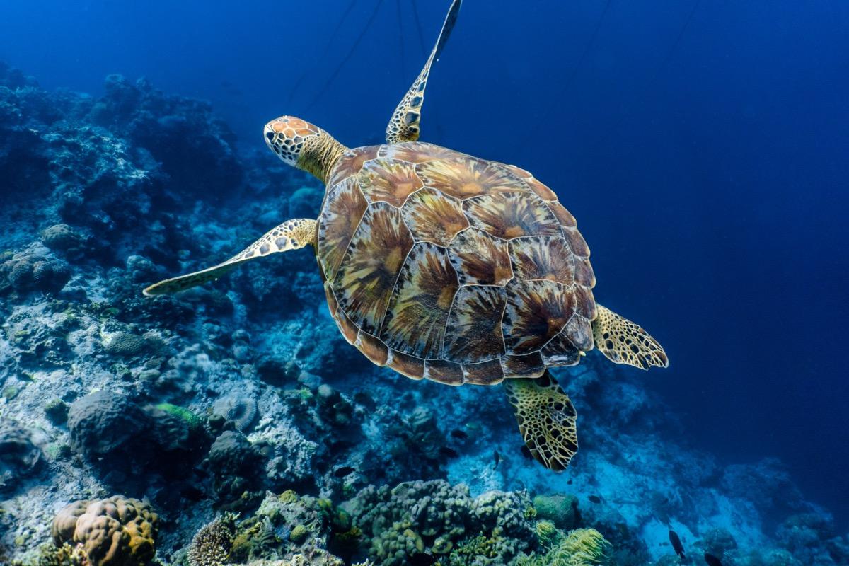 green sea turtle - hurricane facts