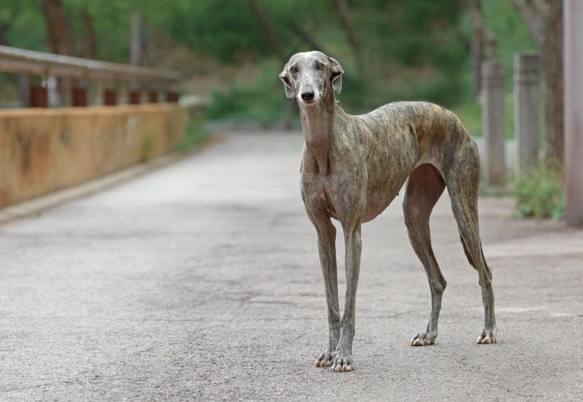 Potret Anjing Greyhound Spanyol Dewasa - Gambar