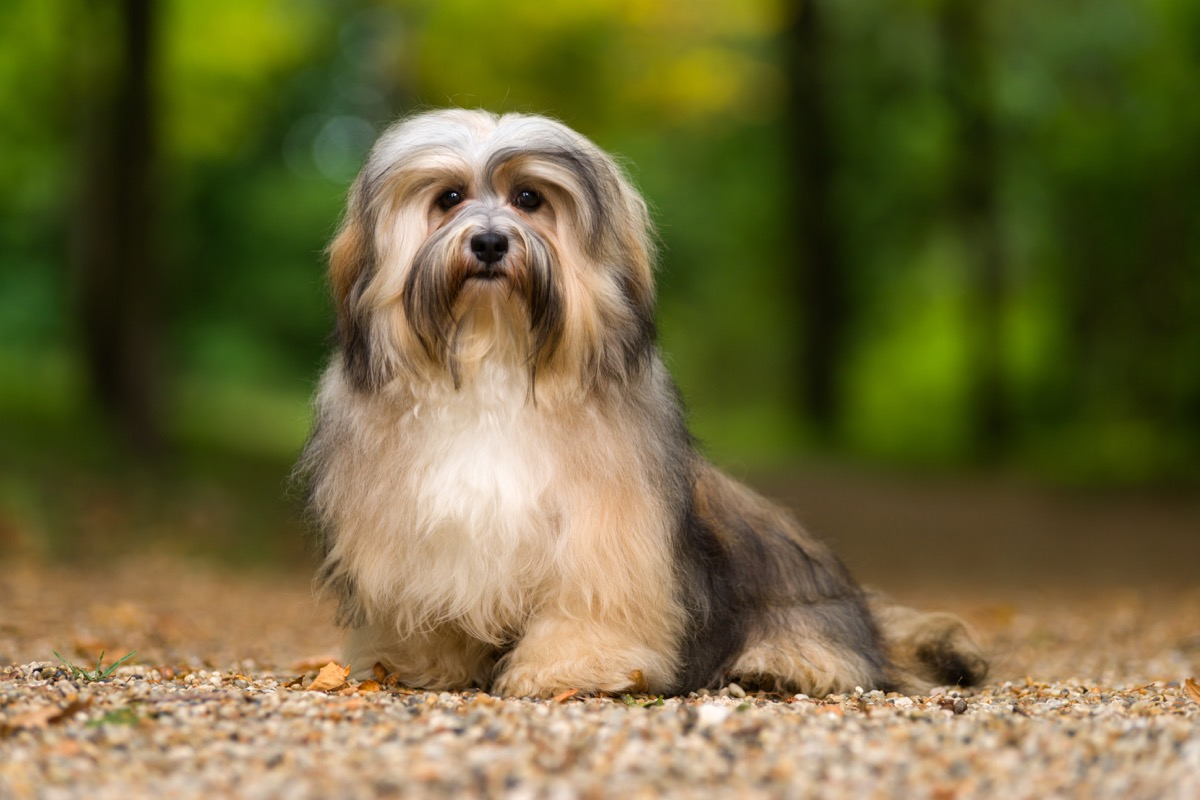 Beautiful young havanese dog is sitting on a gravel forest road in soft light in late summer - Image