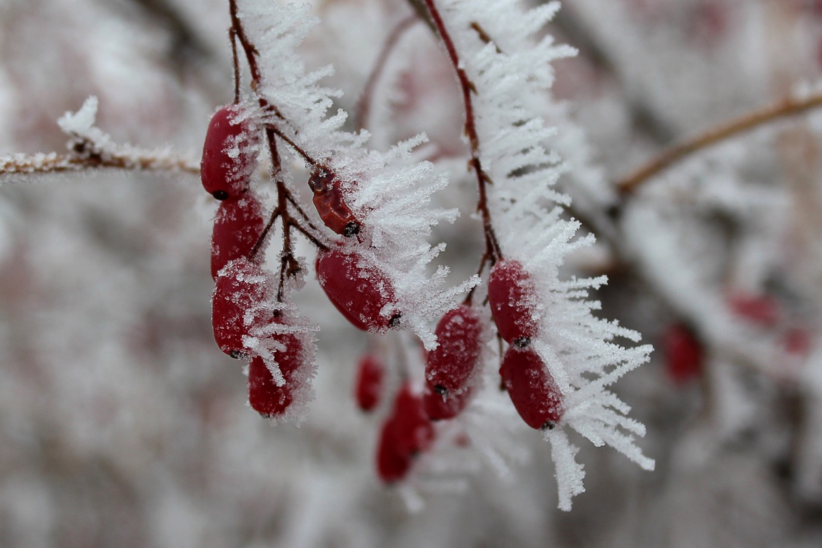 Hoarfrost on berries of barberry bush. Red barberry (Berberis vulgaris, Berberis thunbergii, Latin Berberis Coronita) on cold snowy day. Red berries covered with ice on a branch in a winter park