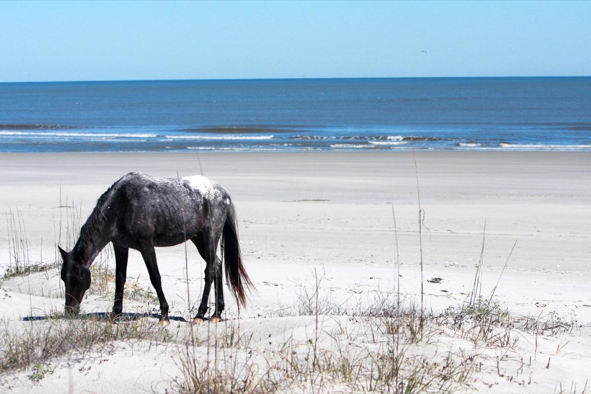 A wild horse stands on the beach in Cumberland Island, Georgia