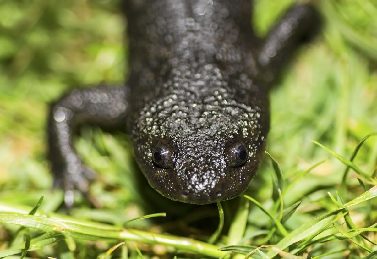 The Iberian ribbed newt or Spanish ribbed newt (Pleurodeles waltl) - Image