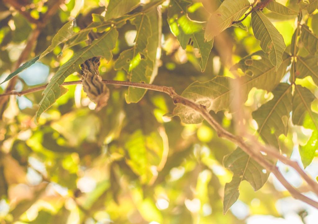 Inga Pod Tree {How Do Plants Protect Themselves}