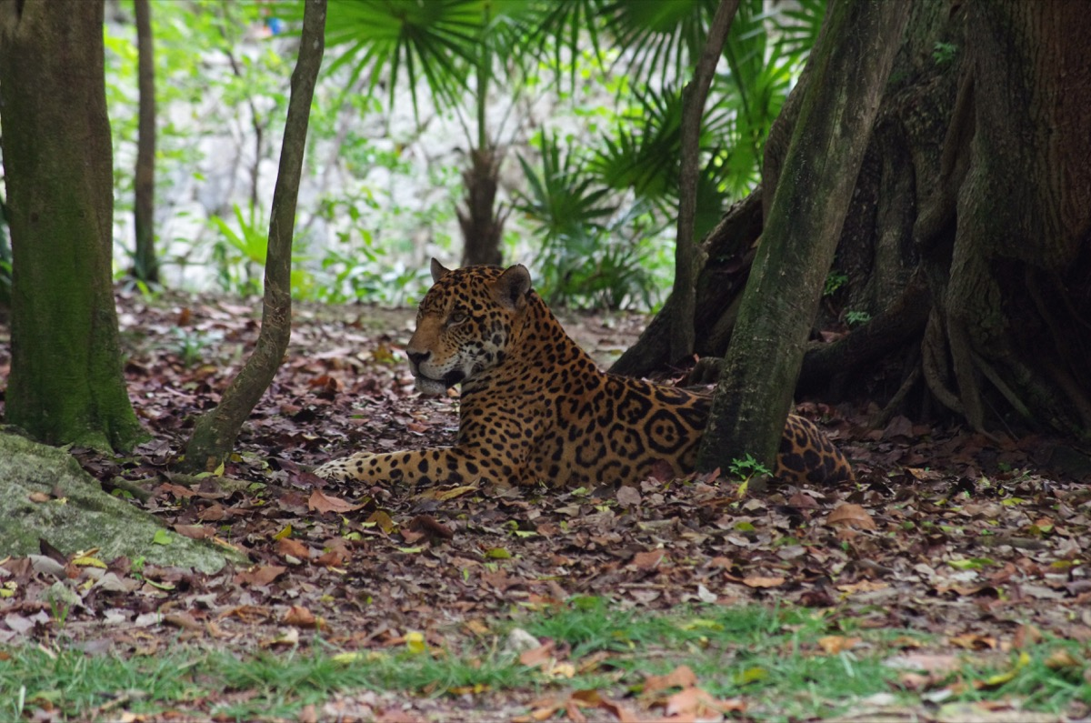 Jaguar resting in the shade of trees in Xcaret Park (Cancun, Mexico)