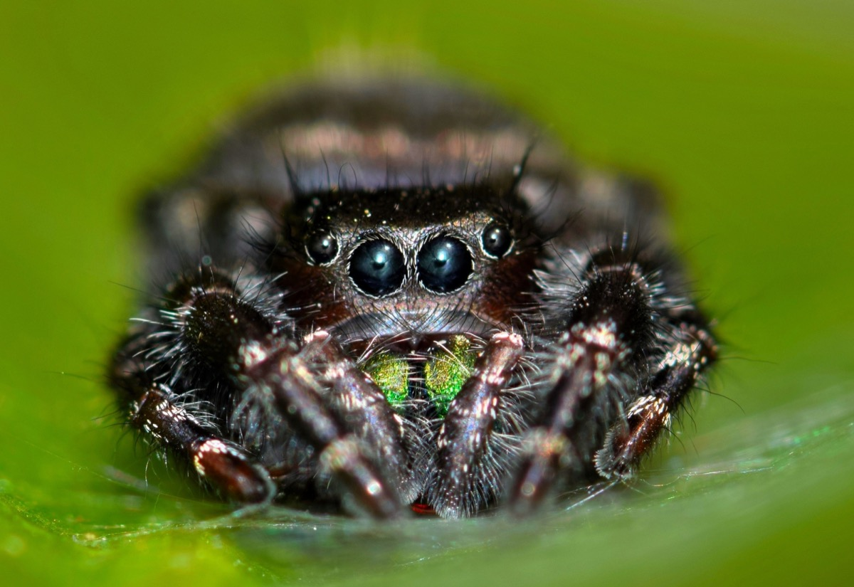 Jumping Spider with Great Hearing {Spider Facts}