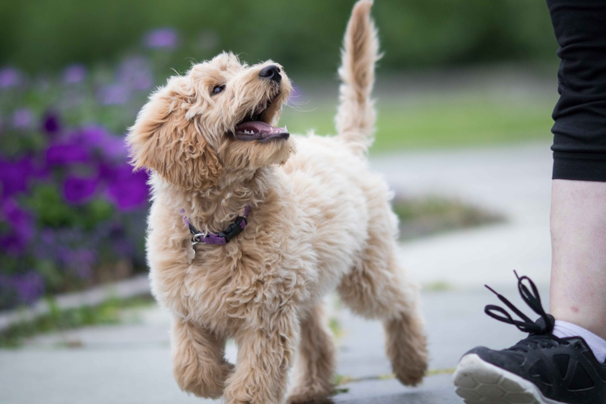 Labrador poodle puppy looking at owner