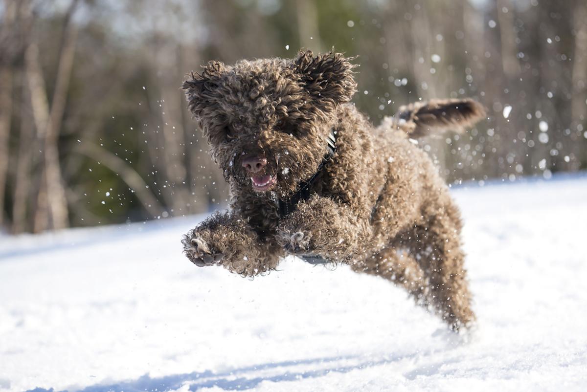 lagotta romangolo dog romps in snow