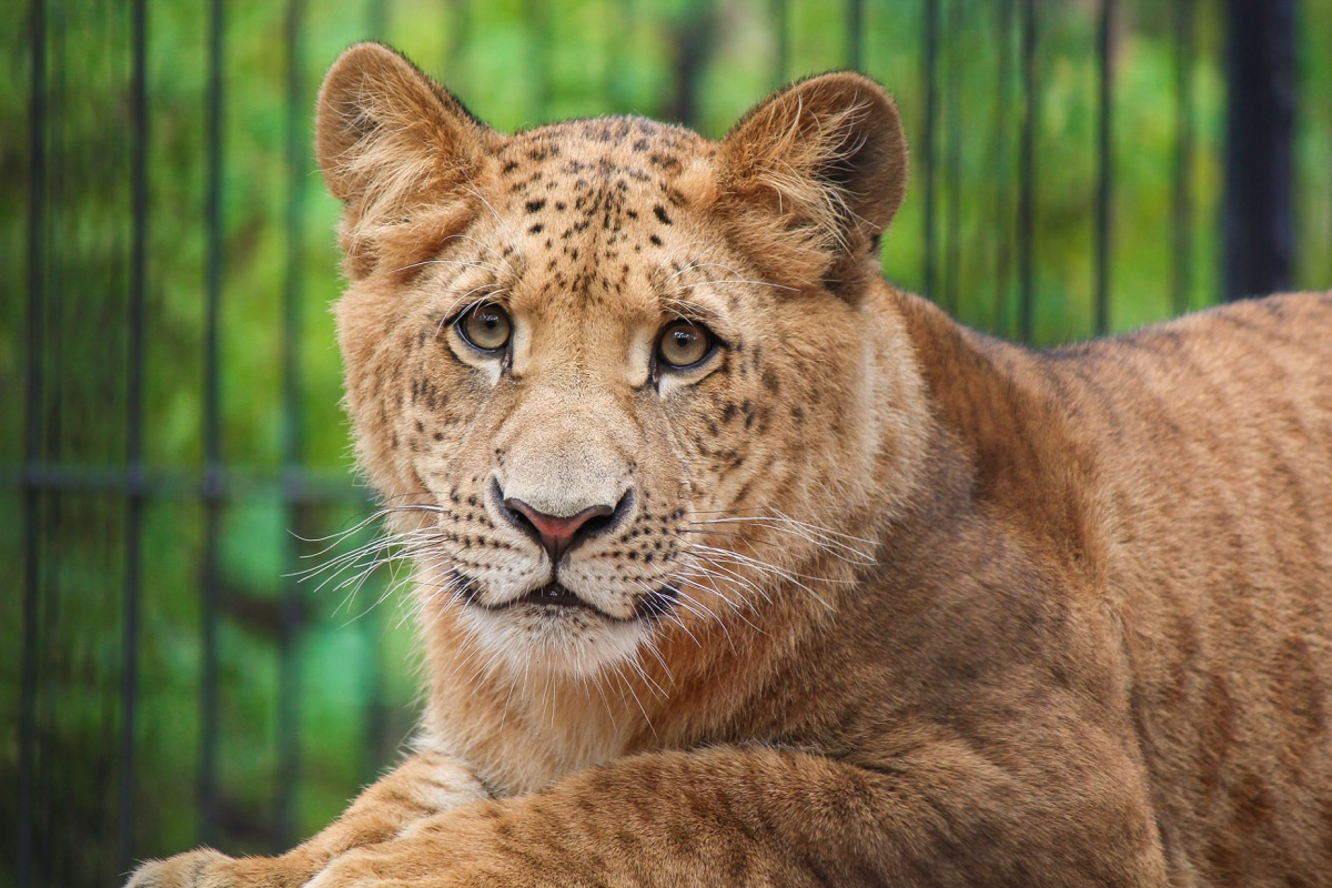 Liger - tiger and lion mix - largest located in South Carolina
