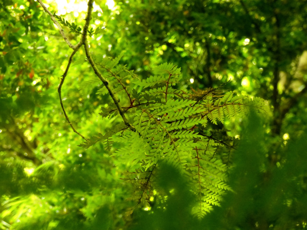 Leaves of Lomatia ferruginea (Fuinque), in the middle of the rainforest of southern chile mountain ranges - Image