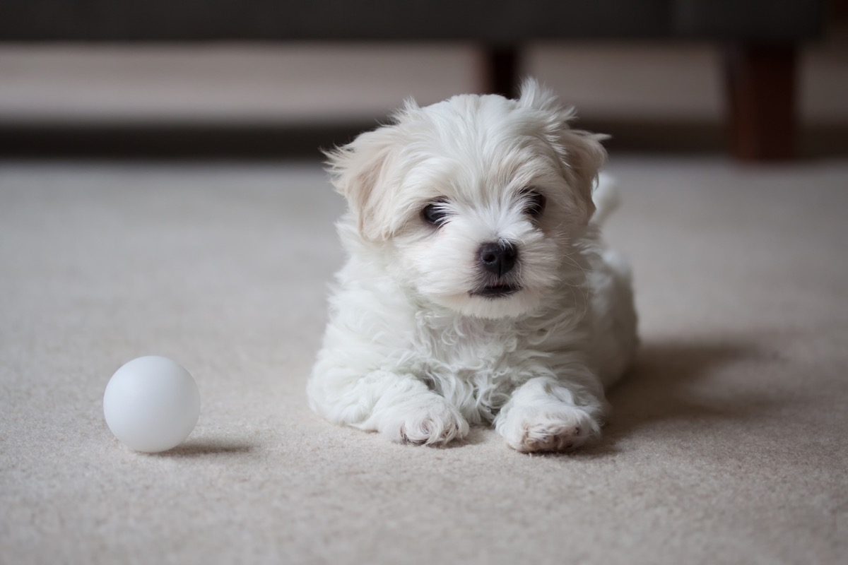 Maltese Terrier puppy waiting to play. - Image
