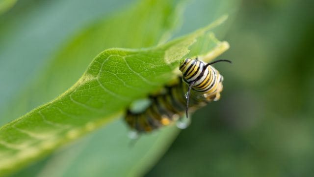 Milkweeds {How Do Plants Protect Themselves}