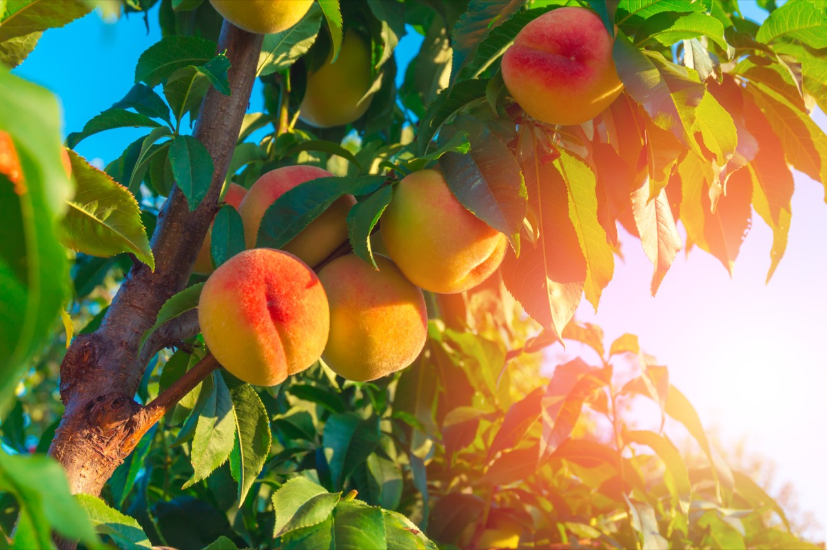 peaches on a branch with the sun in the background