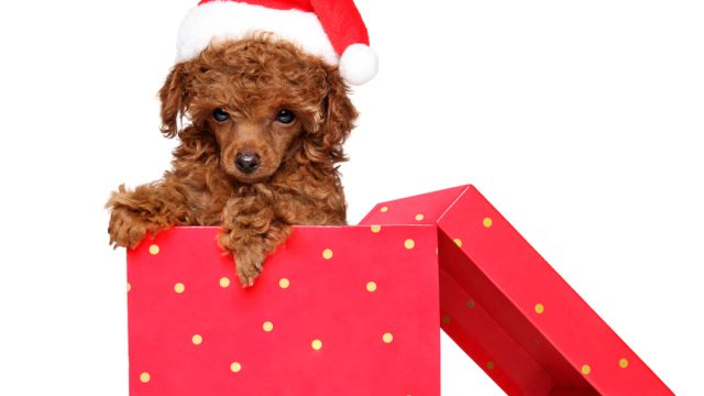 toy brown poodle in present box with santa hat for christmas