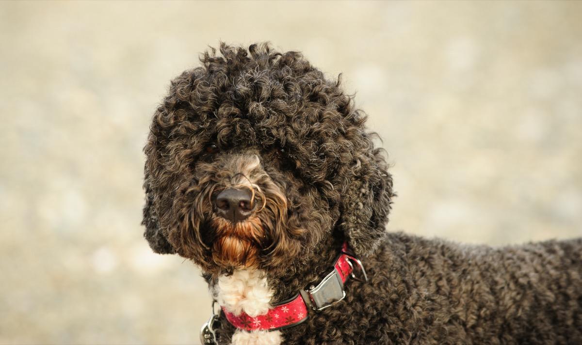 Portuguese Water Dog portrait - Image