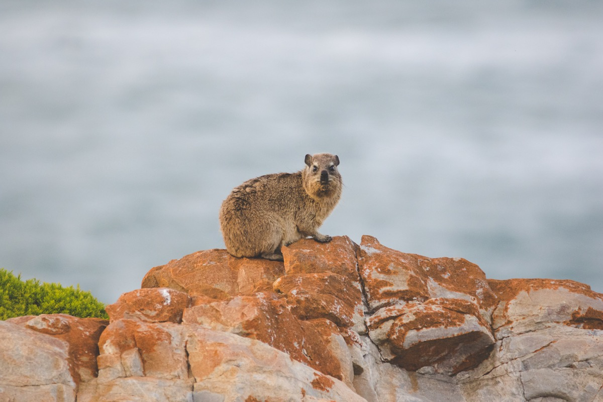 Close up image of rock hyrax sitting on a cliff - Image